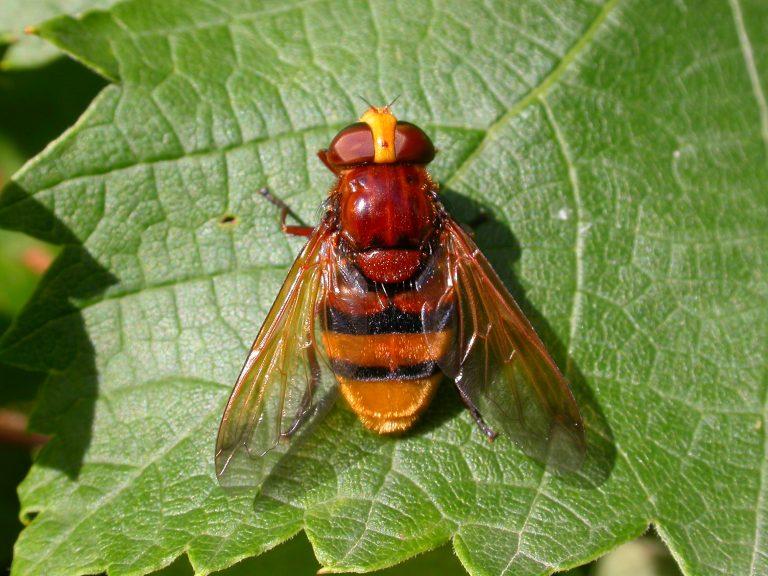 Insect van de maand juli: stadsreuzen