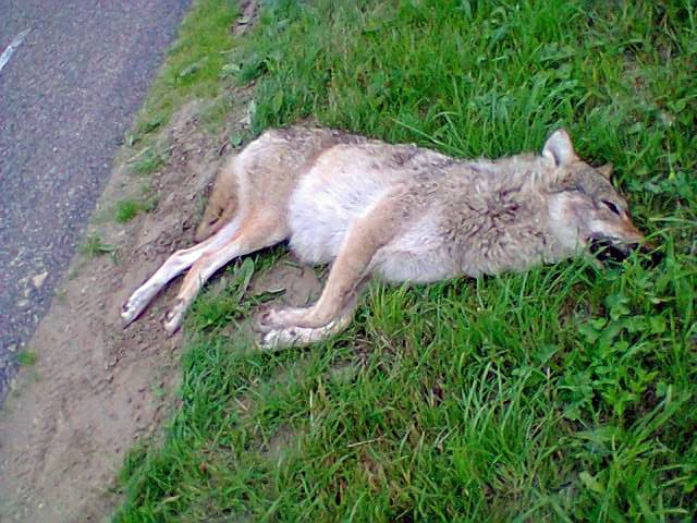 De wolf is mogelijk terug, maar wel dood