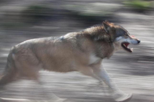 Boswachter André Donker zag al sporen van wolf