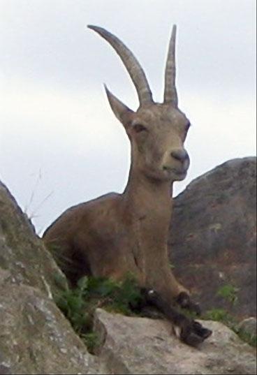 Steenbok valt parkwachter aan