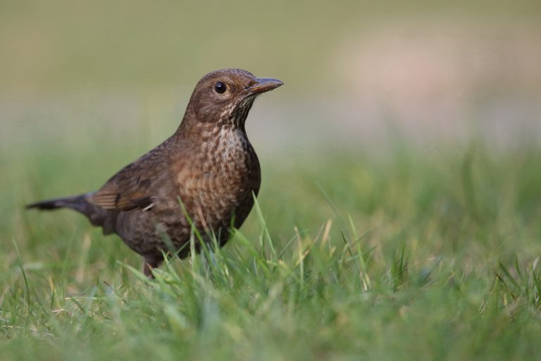 Een vrouwtjes merel in het gras