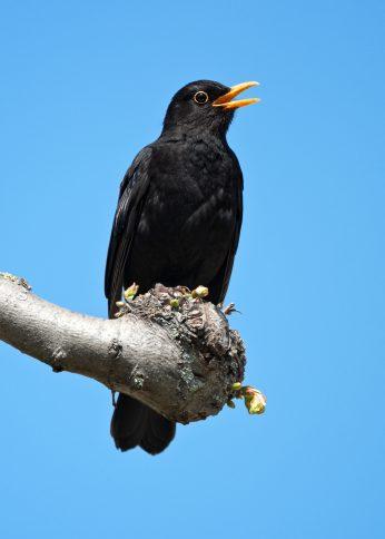 vogels zingen
