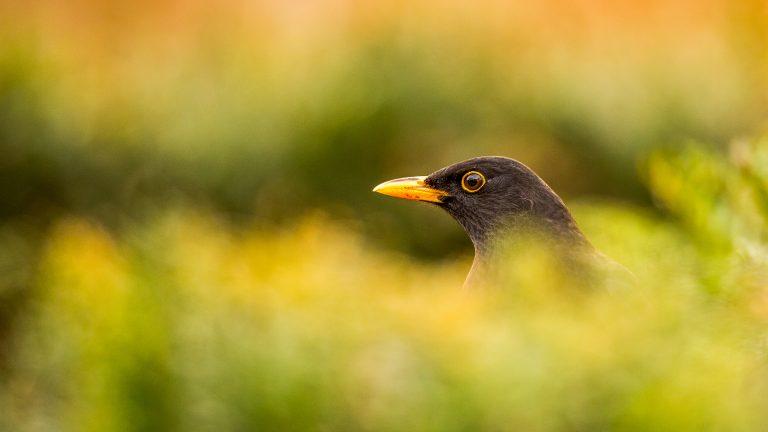 De merel is de favoriete vogel van Vlaanderen