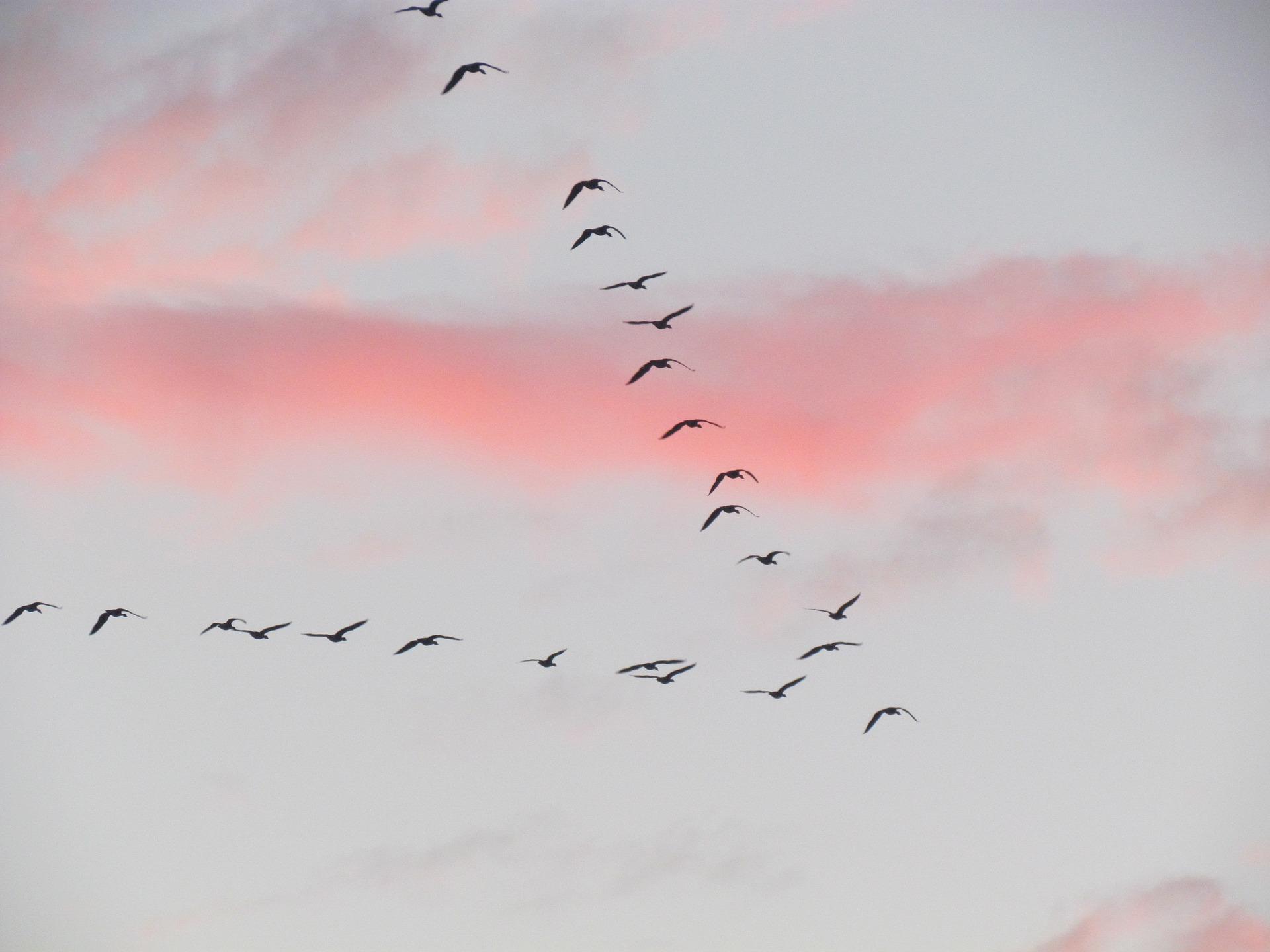 trekvogels V-formatie