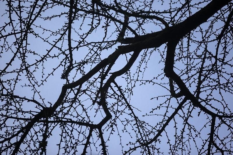 Boomsoort: Japanse notenboom of ginkgo (Gingko Biloba ) Plantjaar: 1770 Bijzonderheden: de oudste en eerste ingevoerde ginkgo in Europa Plaats: Hortus Botanicus Utrecht (Utrecht)
