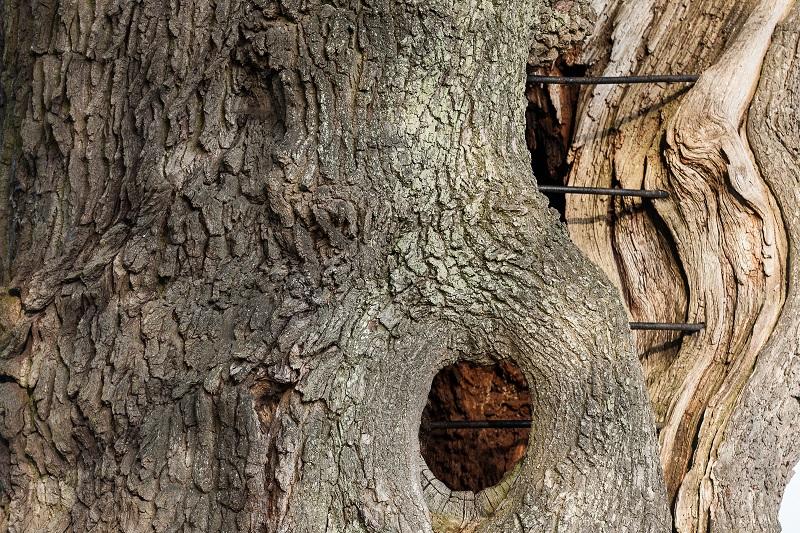 | KROEZEBOOM Boomsoort: zomereik Plantjaar: 1500-1600 Bijzonderheden: vermoedelijk oudste boom van Nederland Plaats: Fleringen (Overijssel)