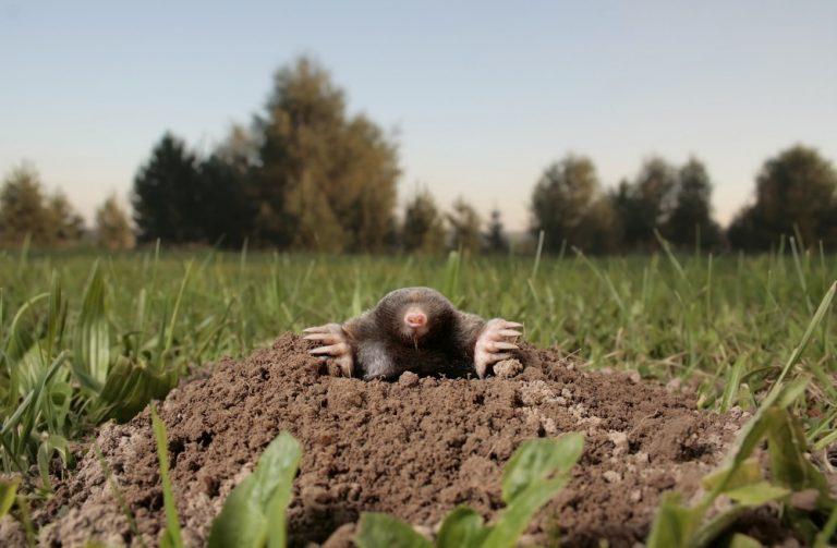 Graven mollen ook als de bodem is bevroren?