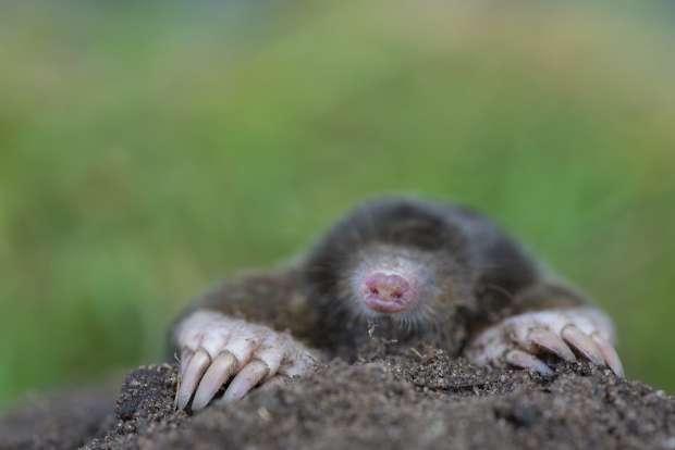 Hoe vindt een mol zijn weg?