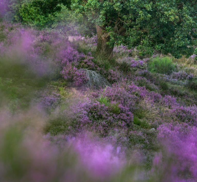 Hoe paars wordt de heide dit jaar?