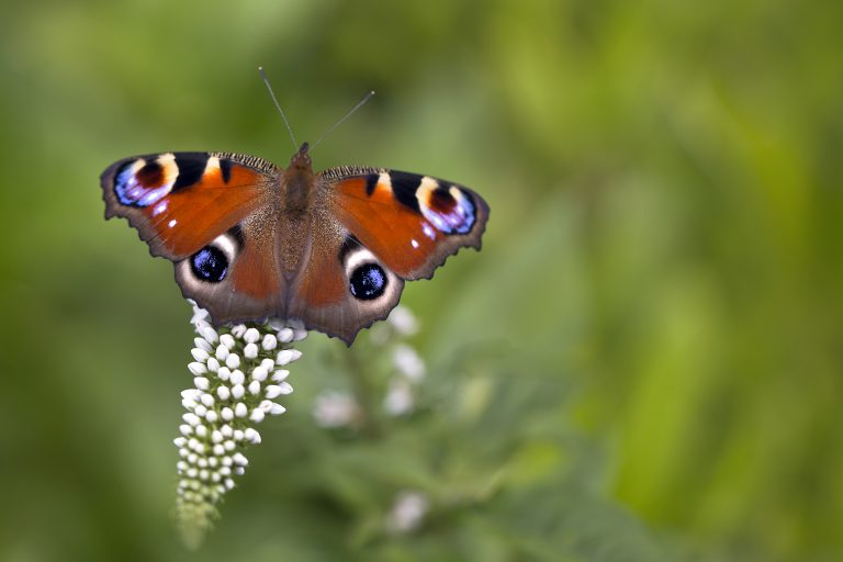 Komend weekend: Landelijke tuinvlindertelling