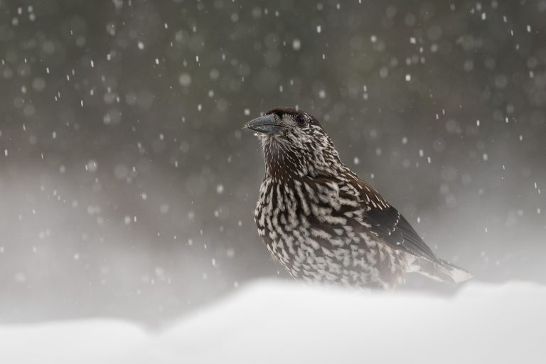 Notenkrakers: de nieuwe podcast van Roots over vogelgeluiden