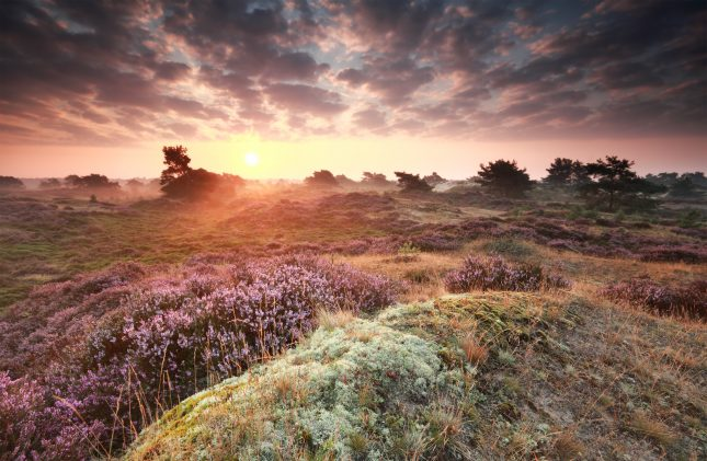 stunning misty sunrise over dunes with flowering heather