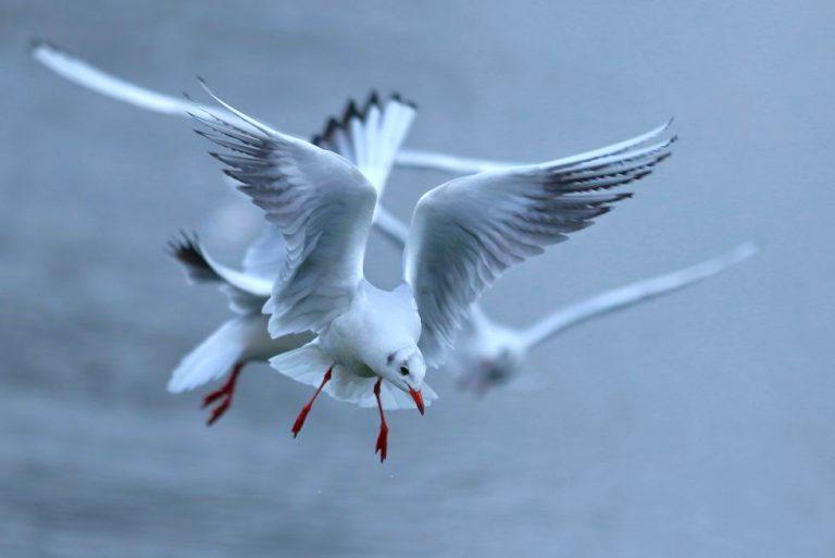 Aanvliegende kokmeeuwen