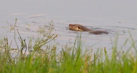 Otters uitgezet in Gelderse Poort