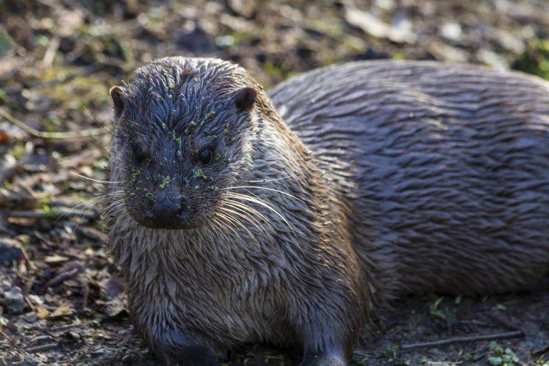 Otter geboren in de Gelderse Poort