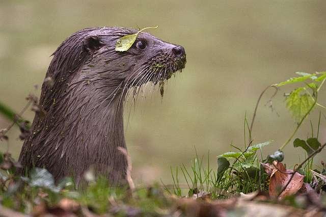 Hoe komen otters een strenge winter door?