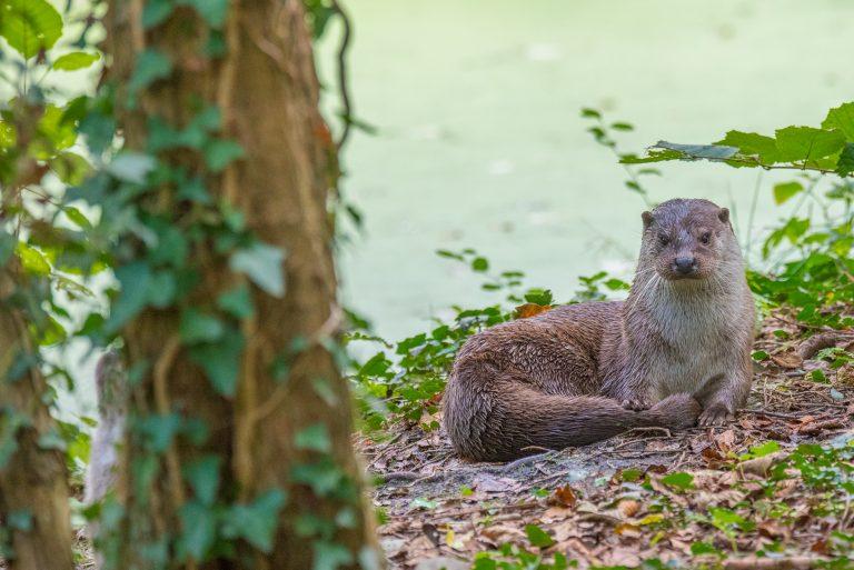 De otter is terug van weggeweest
