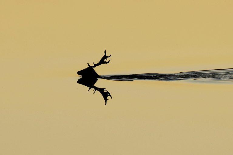 Zwemmend hert, het verhaal achter de winnende foto