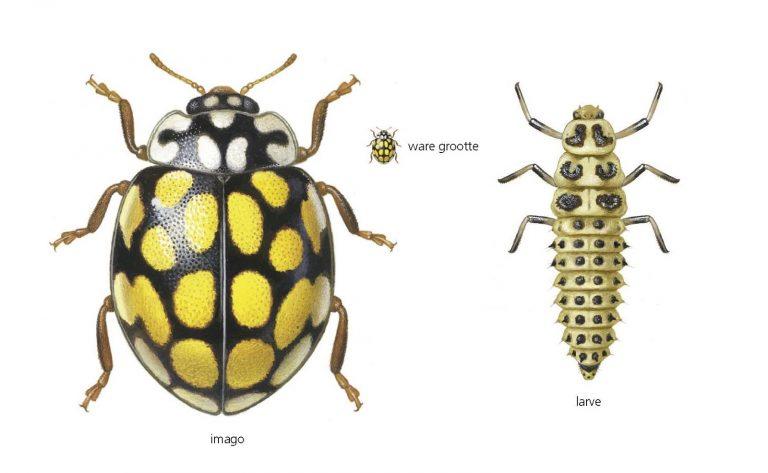 Lieveheersbeestjes: zo'n 80 bladluizen per dag op het menu