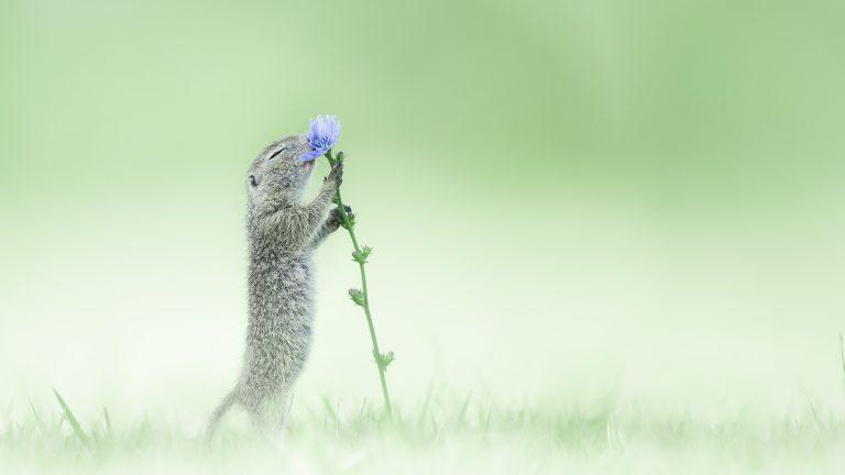 De grondeekhoorn is gek op bloemen