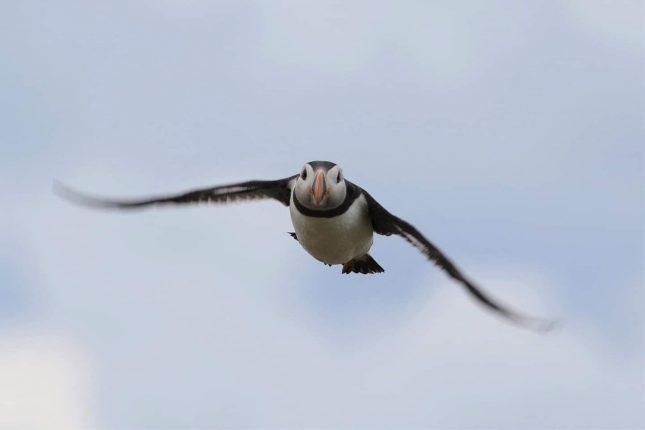Papegaaiduiker boven de Nederlandse Noordzee