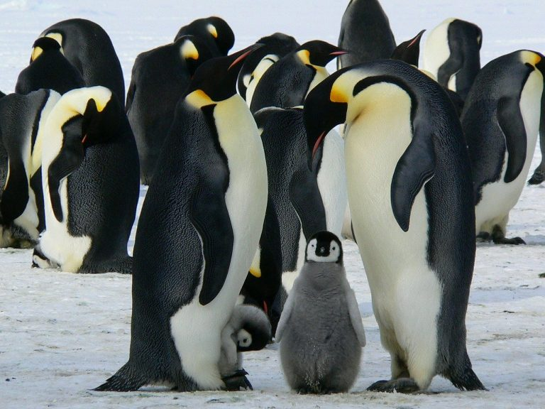 Koning Keizer: hoe de keizerspinguïn overleeft op Antarctica