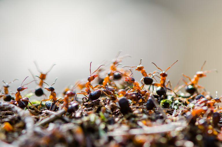 Hoe communiceren mieren?