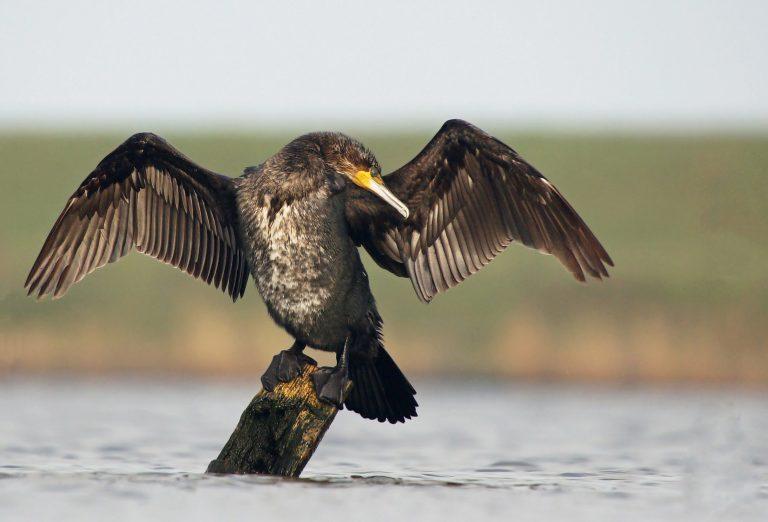Waarom spreiden aalscholvers zo vaak hun vleugels?