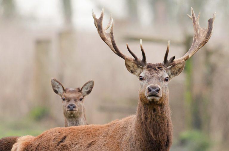 Edelherten kijken in de Ardennen