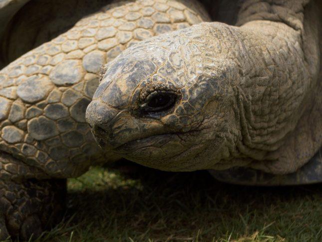 10 oudste dieren: reuzenschildpad