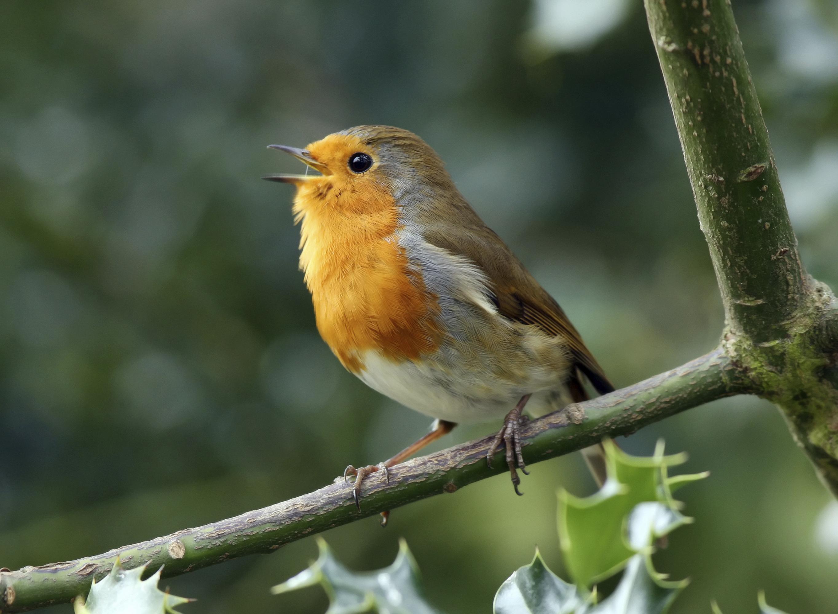 Roodborsten zingen de hele winter door, zowel de mannetjes als de vrouwtjes