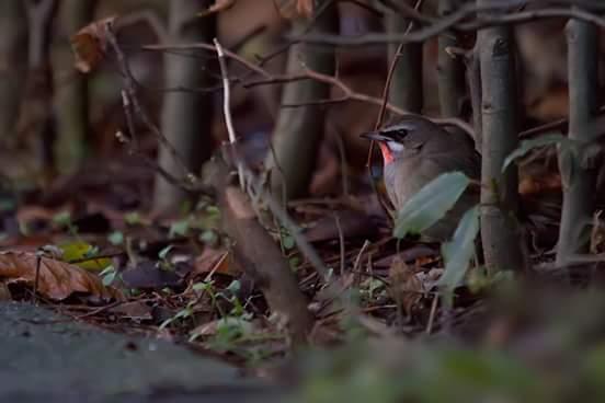 Roodkeelnachtegalen zoeken voedsel op de grond