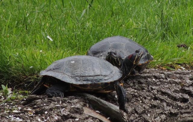 Roodwangschildpadden