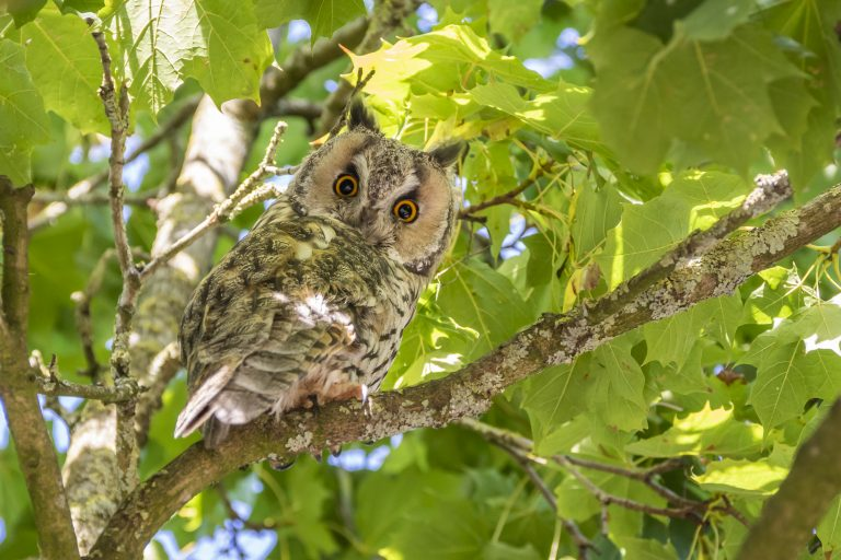 Een ransuil in de boom: wie kijkt naar wie?