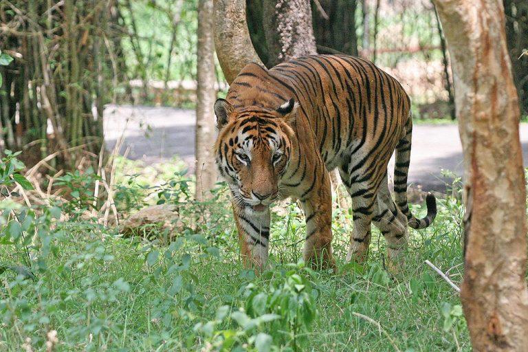 Het aantal tijgers in India stijgt