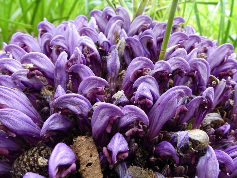 Grensoverschrijdend prachtig, Frans Buissink over de paarse schubwortel