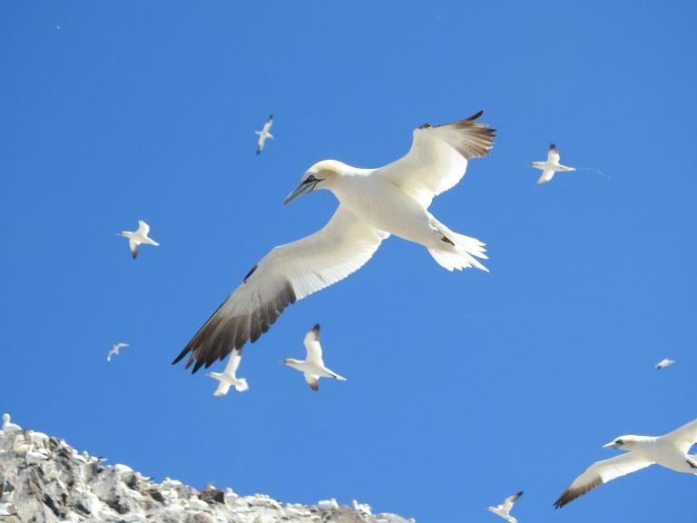 Bass Rock: mijn mooiste vogelervaring ooit