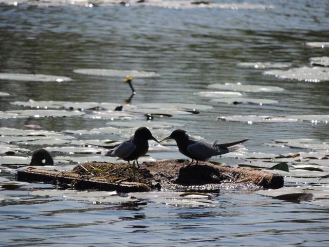 Twee zwarte stern mannetjes geven elkaar een visje
