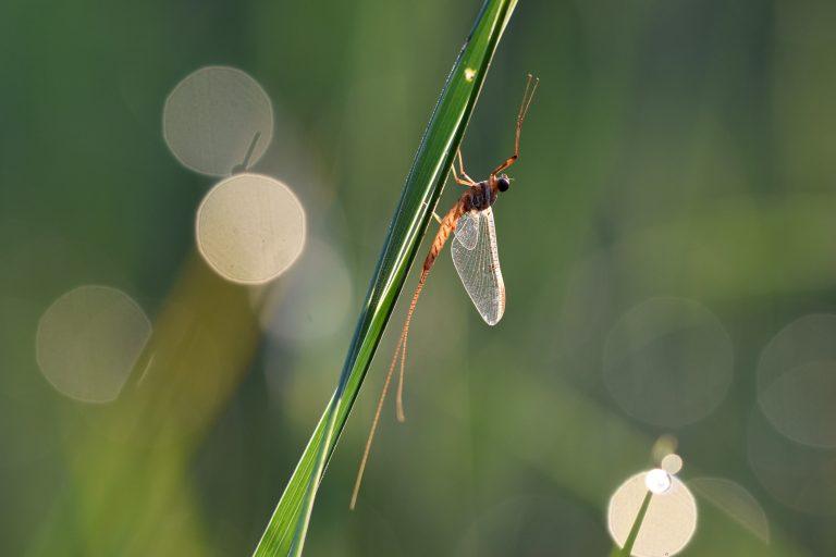Eendagsvlieg net na zonsopkomst