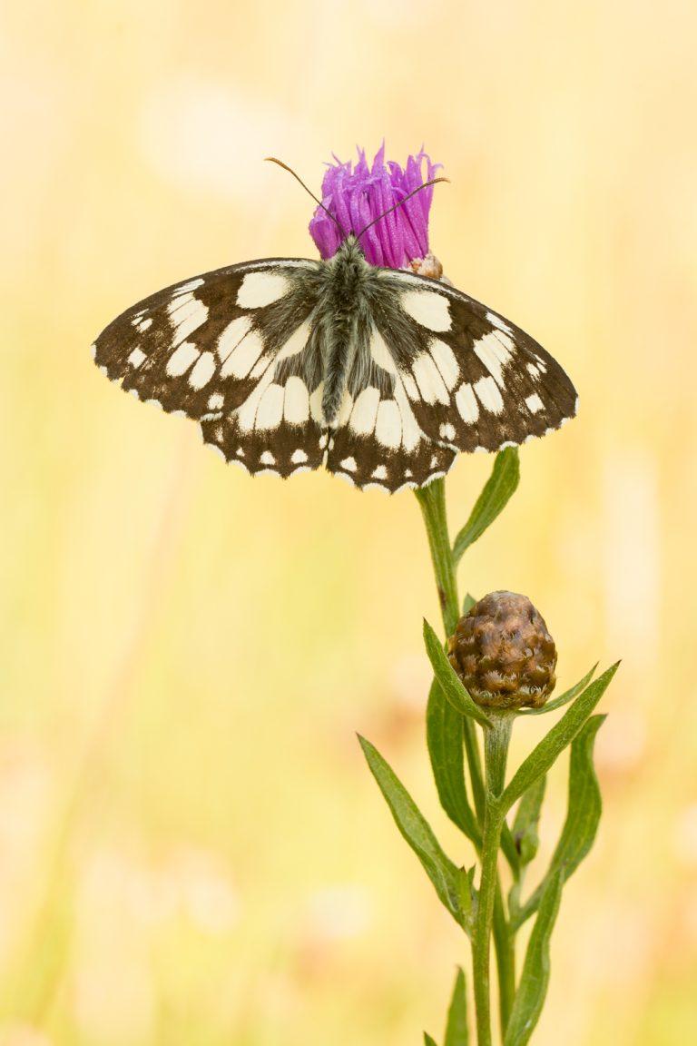 Vlinders fotograferen: Dambordjes in de Eifel