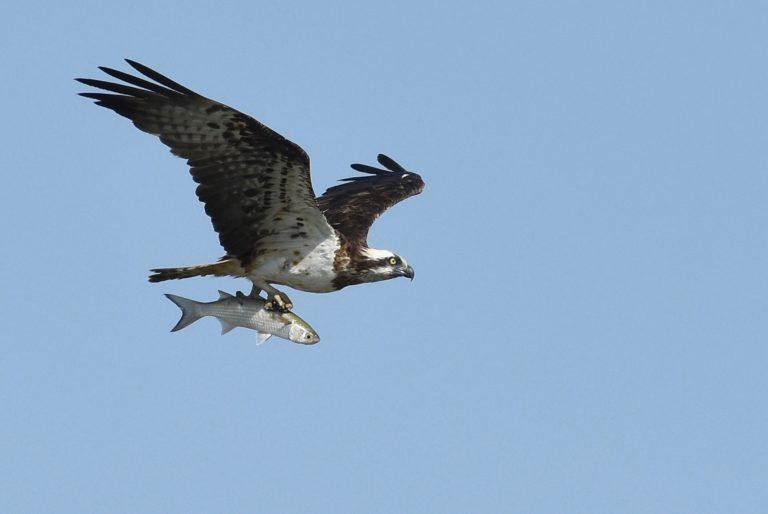 Jonge visarend in de Biesbosch staat op uitvliegen