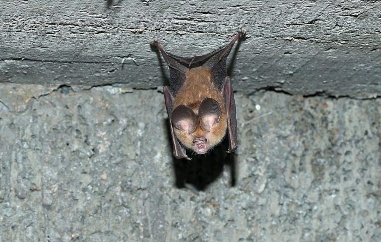 Wat een vraag: waarom hangen vleermuizen ondersteboven?