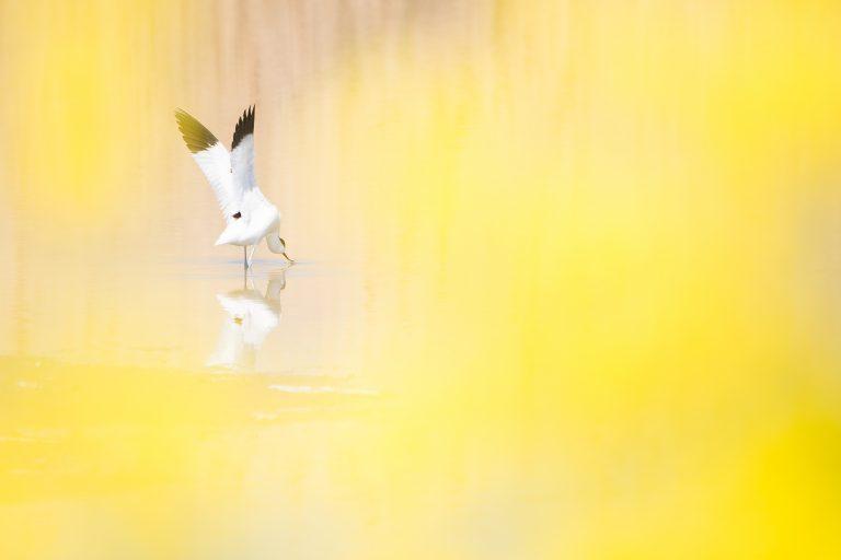 Het verhaal achter de winnende foto: een kluut in het geel