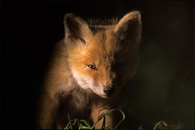 De laatste uren van een vos
