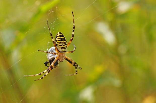 Exotisch gekleurde wespspin