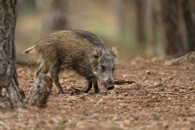 hotspots wild zwijn