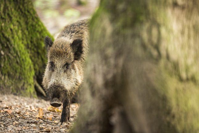 wild zwijn half achter een boom - de rauschtijd is begonnen