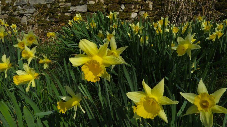 Wilde narcis: het gele wonder van België