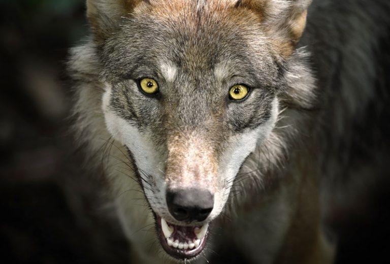 De wolf biedt een vleugje waanzin