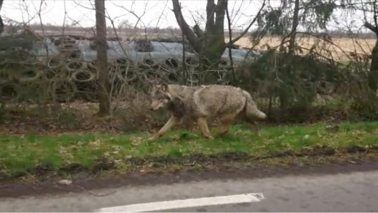 Daar is de wolf